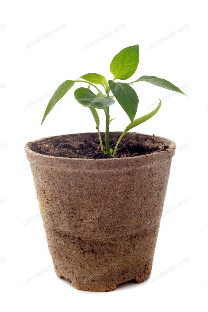 bell pepper seedling