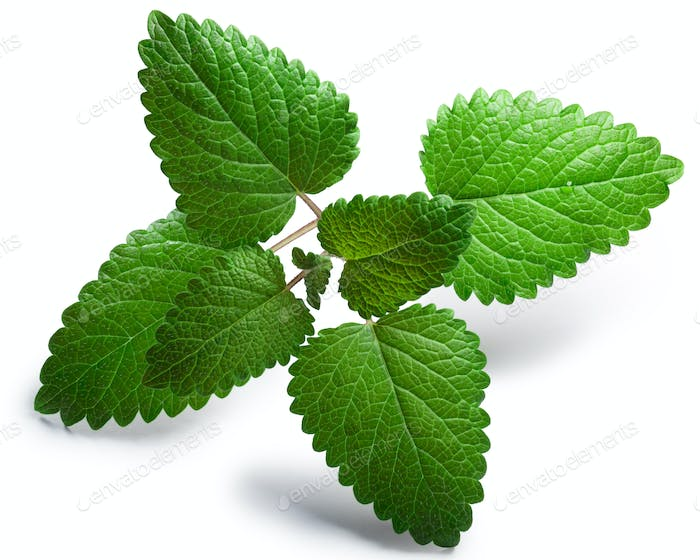 Mint balm Melissa officinalis, paths