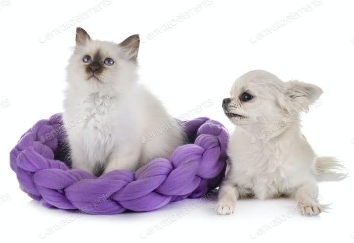 birman kitten and chihuahua