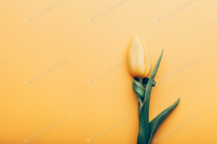 Yellow Classic Tulip on yellow background