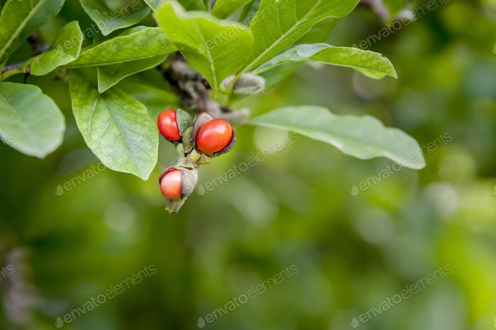 garden magnolia plant branch detail with red fruits