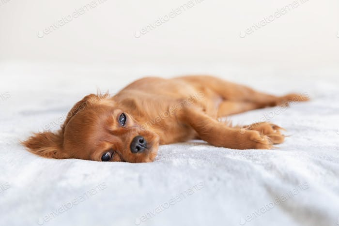 Puppy of king charles cavalier spaniel relaxing