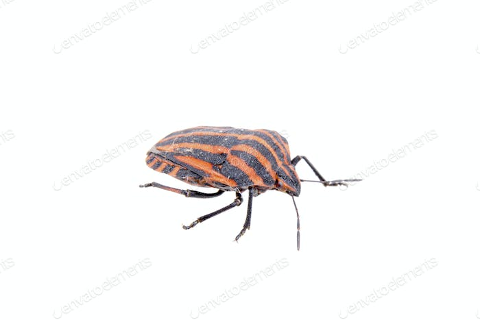 Red black stripe sloe bug on a white background