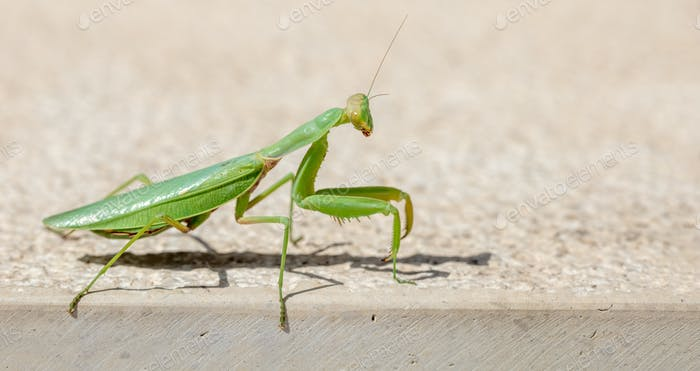 Green european or Praying mantis, (Mantis Religiosa) against beige background
