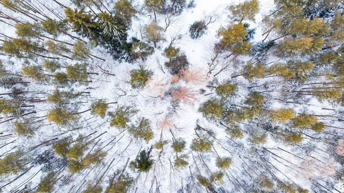 Spruce Trees in Winter Forest, Aerial Drone Top Down View