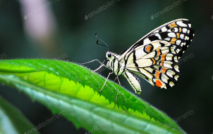 Common Lime Butterfly on a Leaf