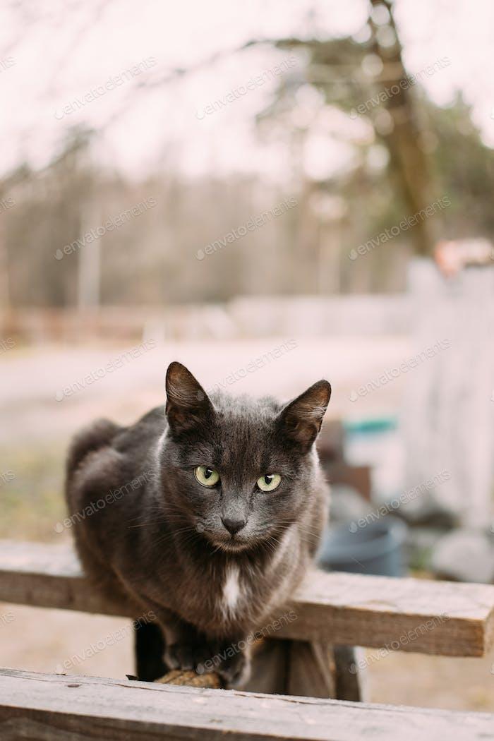 Russian Blue Cat Kitten With Green Eyes Sitting On Wooden Board