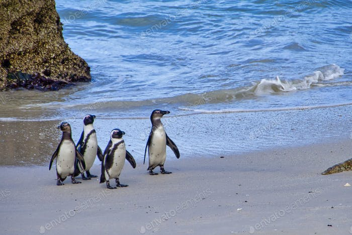 African Penguin, Table Mountain National Park, Cape Town, South Africa