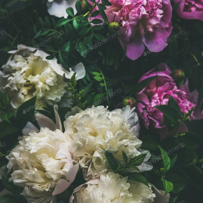 White and pink peony flowers over dark background, square crop