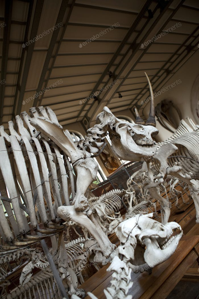 Skeletons of prehistoric animals