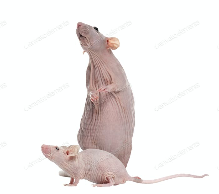 Hairlesss rat and Hairless House mouse, isolated on white