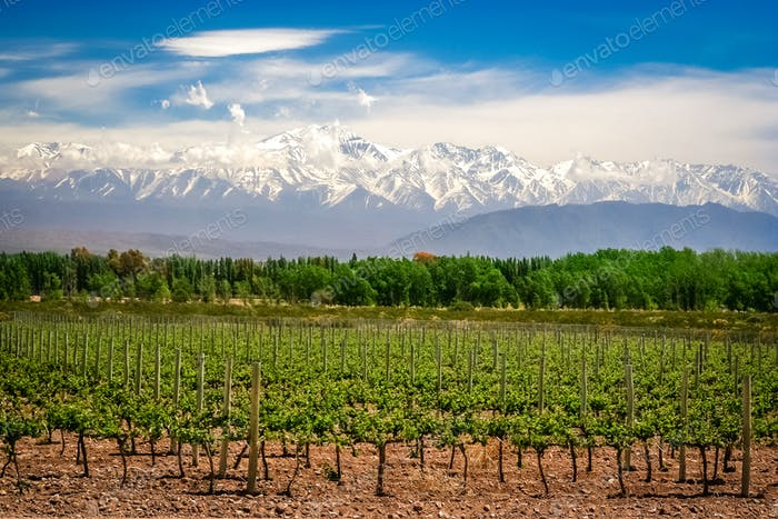 Vineyard near Mendoza