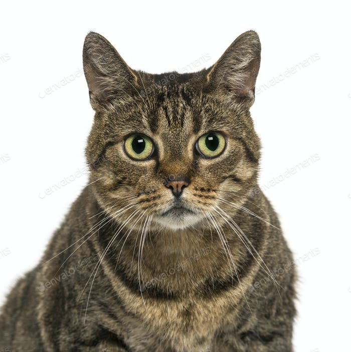 Close-up of a European shorthair facing, looking at the camera, isolated on white