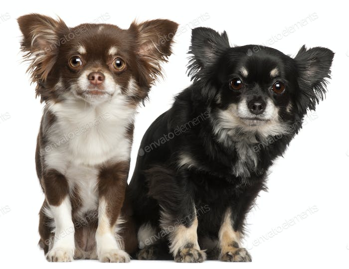 Chihuahuas, 1  and 2 years old, in front of white background