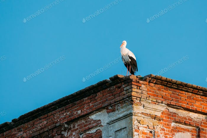 European White Stork Standing On Wall Of Old Ruined Orthodox Chu