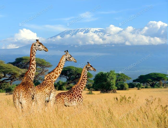 Three giraffe on Kilimanjaro mount background in National park o