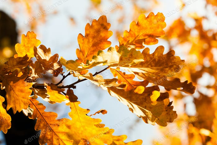 Oak tree branch with colorful yellow orange brown leaves.