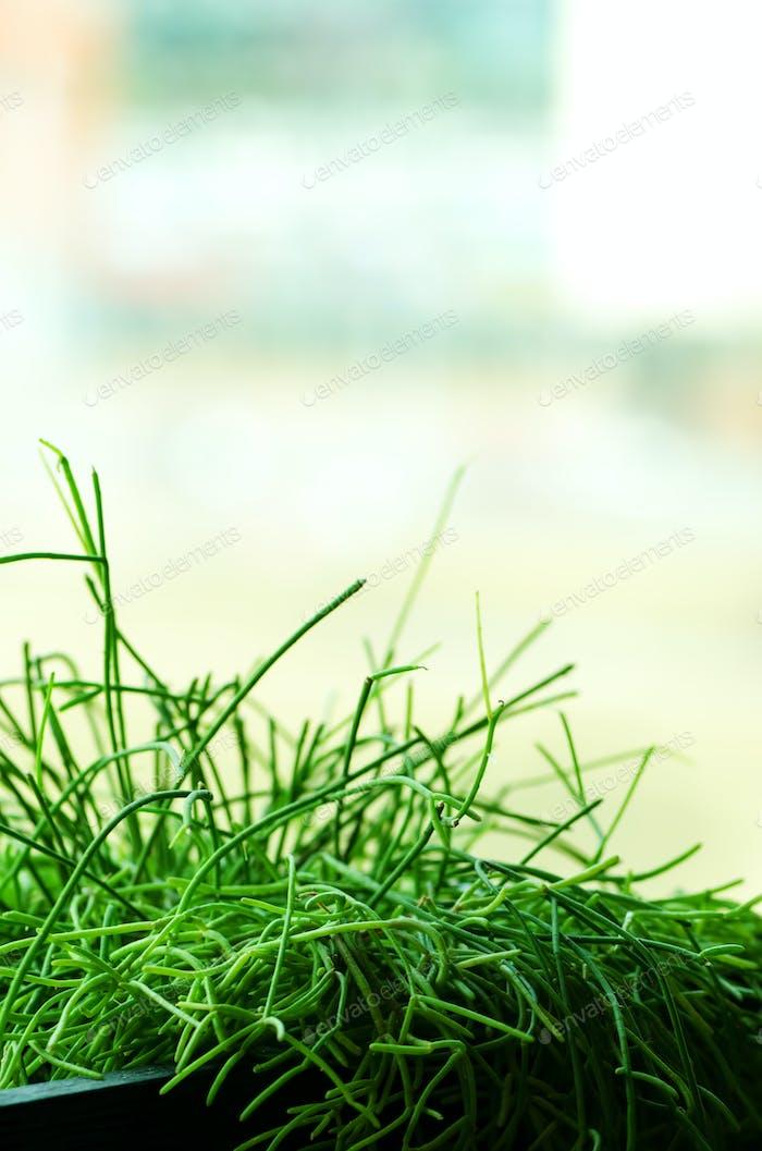 Grüne Pflanzen oder Gras in schwarzem Behälter, Topf für Haus, Restaurant, Café und Büro Dekoration