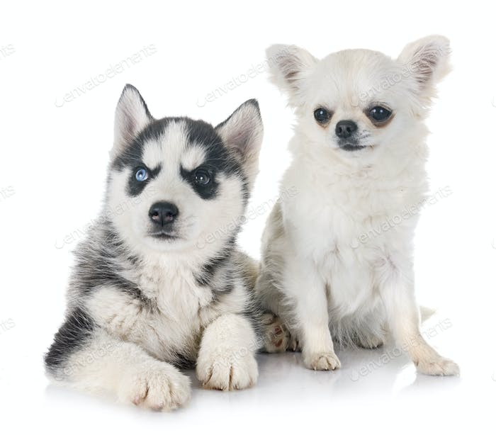 puppy siberian husky and chihuahua