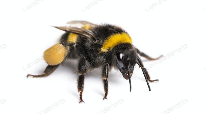 Buff-tailed bumblebee, Bombus terrestris, isolated on white