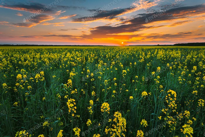 Sunset Sky Over Horizon Of Spring Flowering Canola, Rapeseed, Oilseed Field Meadow Grass. Blossom Of