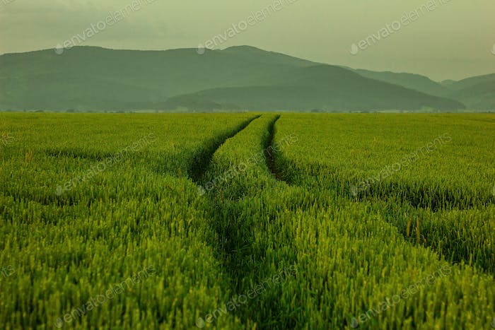 Road through geen wheat field