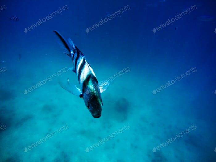Lone fish in the sea