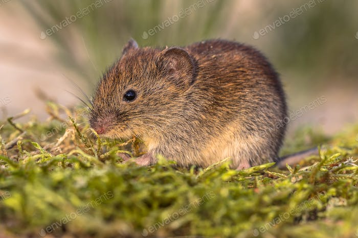 Bank vole in natural moss vegetation