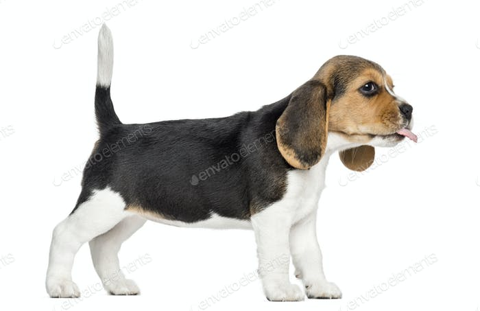 Side view of a Beagle puppy standing, sticking the tongue out, isolated on white