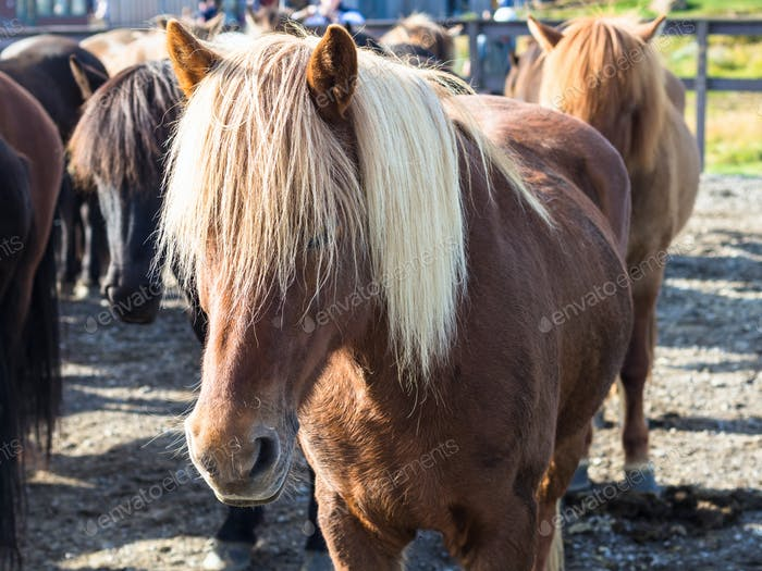 low Icelandic horse in country farm close up