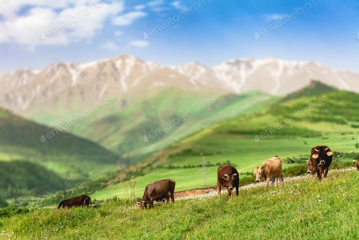 cows grazing in mountains