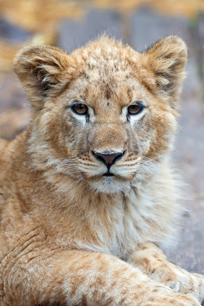 Löwenjunges im Frühling