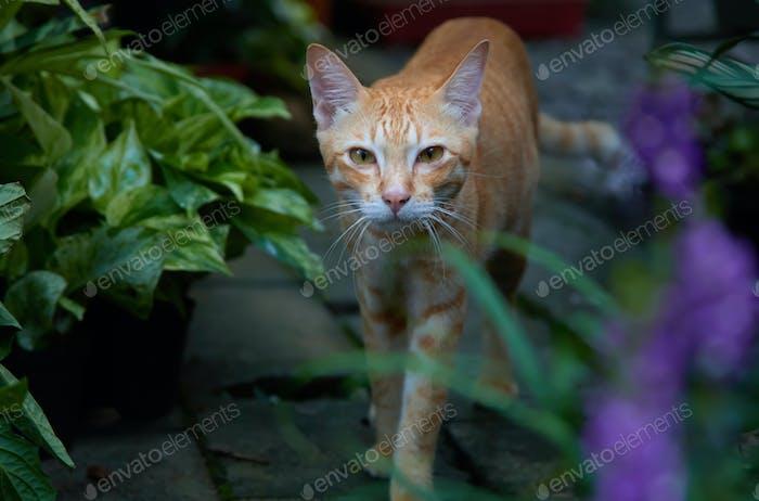 A tabby cat walking in the garden