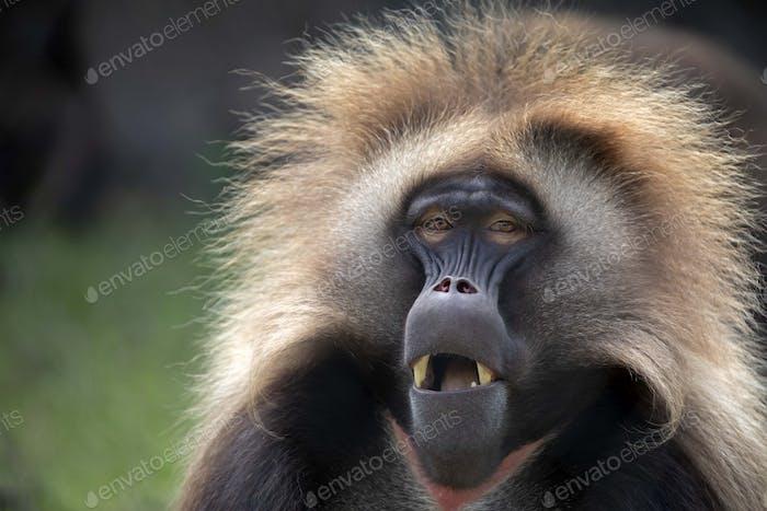 Male bleeding-heart monkey portrait in natural habitat