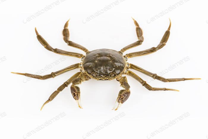 living hairy crab isolated