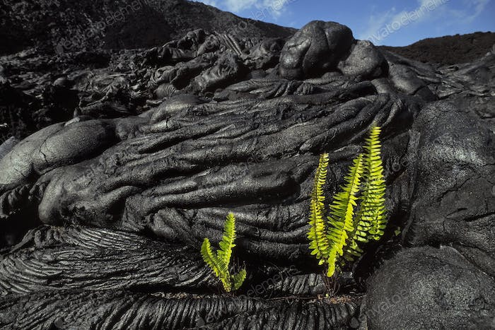 Ama'u ferns sprouting in cooled lava cracks, Hawaii