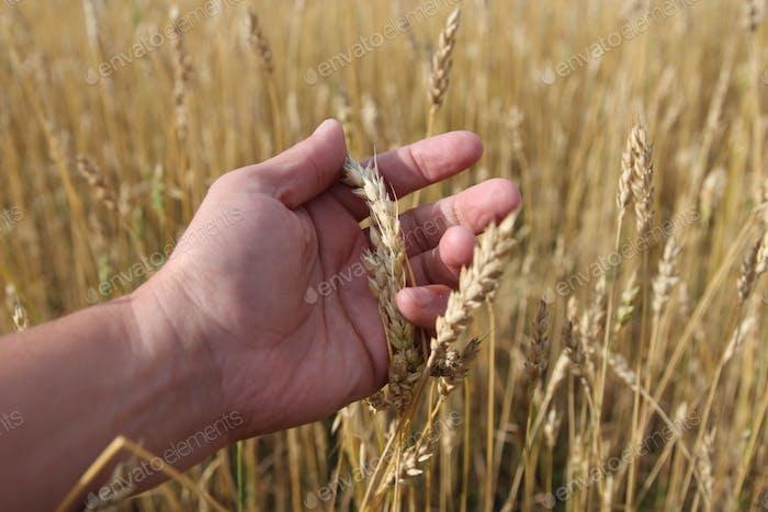 Bauer im Feld berühren seine Weizenohren
