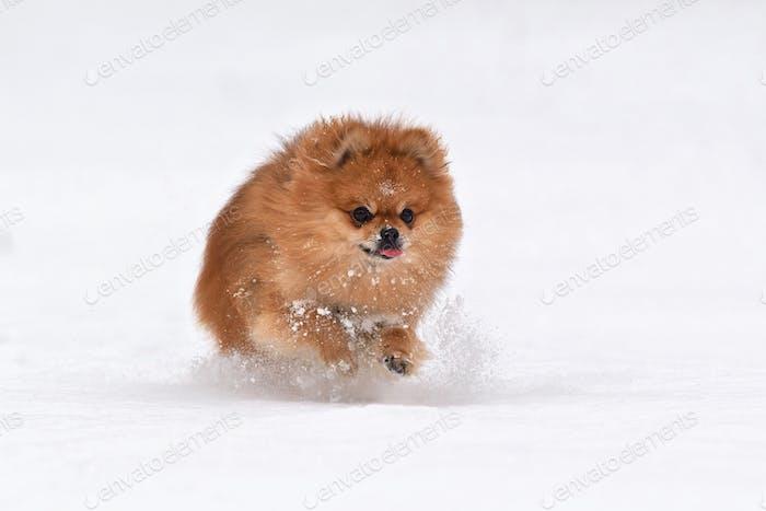 Pomeranian spitz in winter day