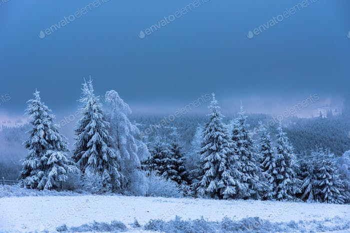 Winter wonderland in the mountains. Snow covered fir trees