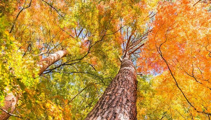 Maple tree in autumn