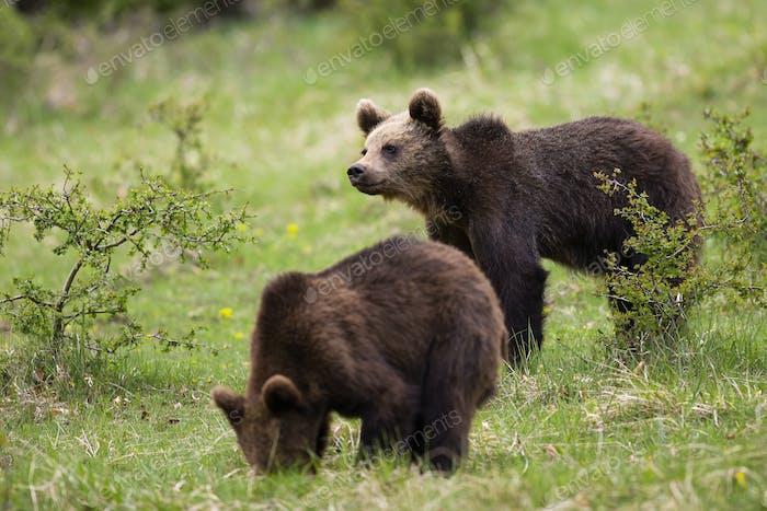 Süße Braunbärenjunges Füttern und Suchen in einem grünen Naturraum im Frühling