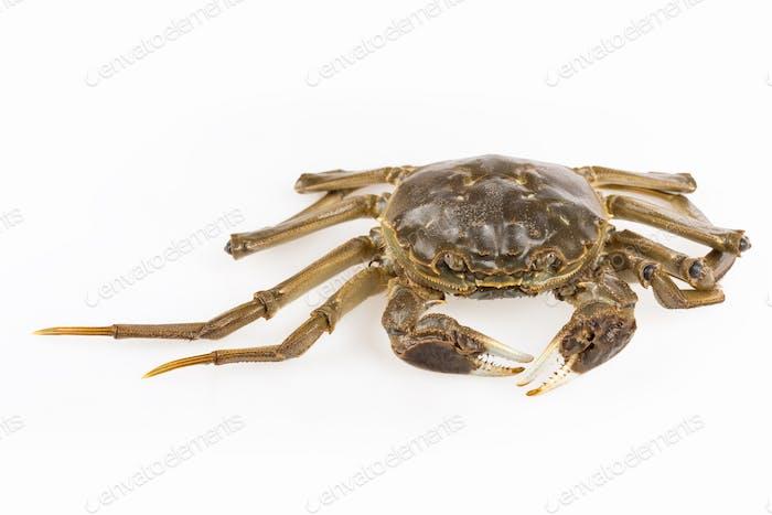 freshwater crab closeup