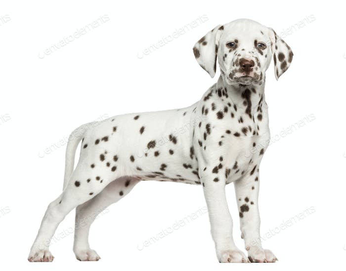 Side view of a Dalmatian puppy standing, looking at the camera, isolated on white