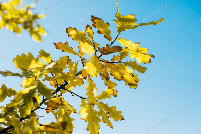 Oak branch with orange and yellow leaves and acorns in the forest in autumn. Nature background