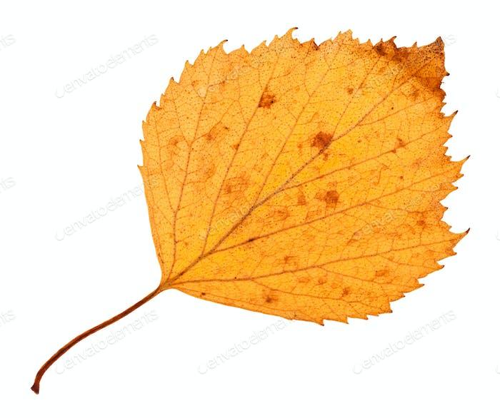 Rückseite der gelben getrockneten Blatt Weißdorn Baum