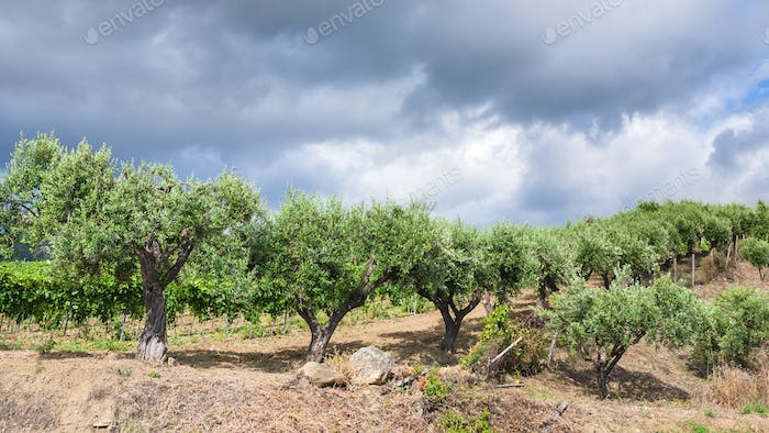olive trees in garden in Etna region of Sicily