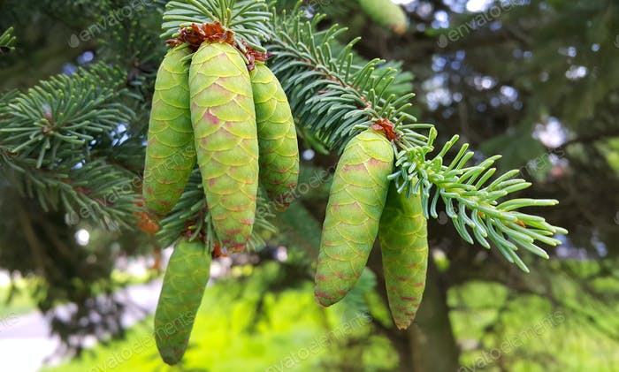 Branch of coniferous tree with young green cones