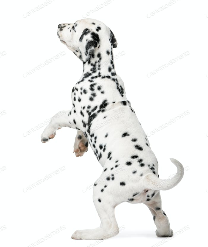 Dalmatian puppy standing up in front of a white background