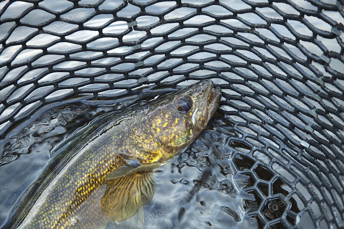 Walleye in a Landing Net