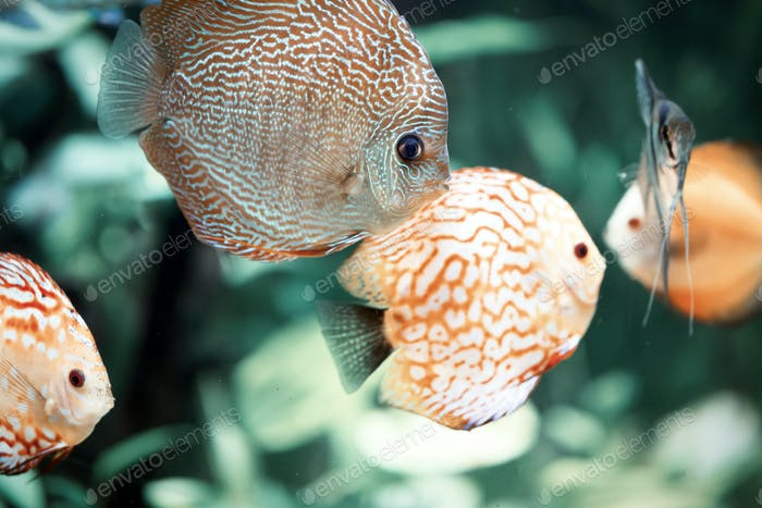 Discus are some of the most beautiful tropical fish in aquarium